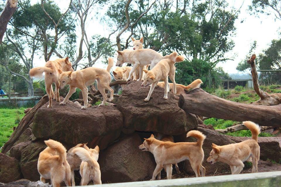 Des dingos en Australie