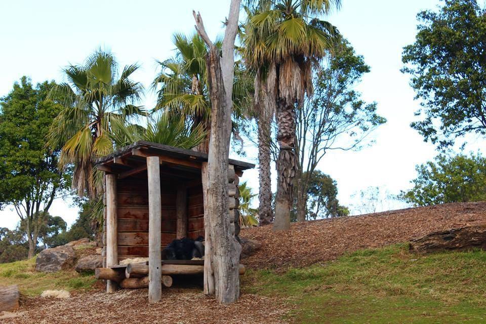 Gorille en train de dormir : Australie