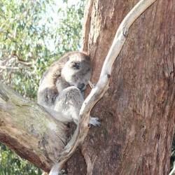 Un koala en Australie