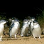 Philip Island, Melbourne : Australie