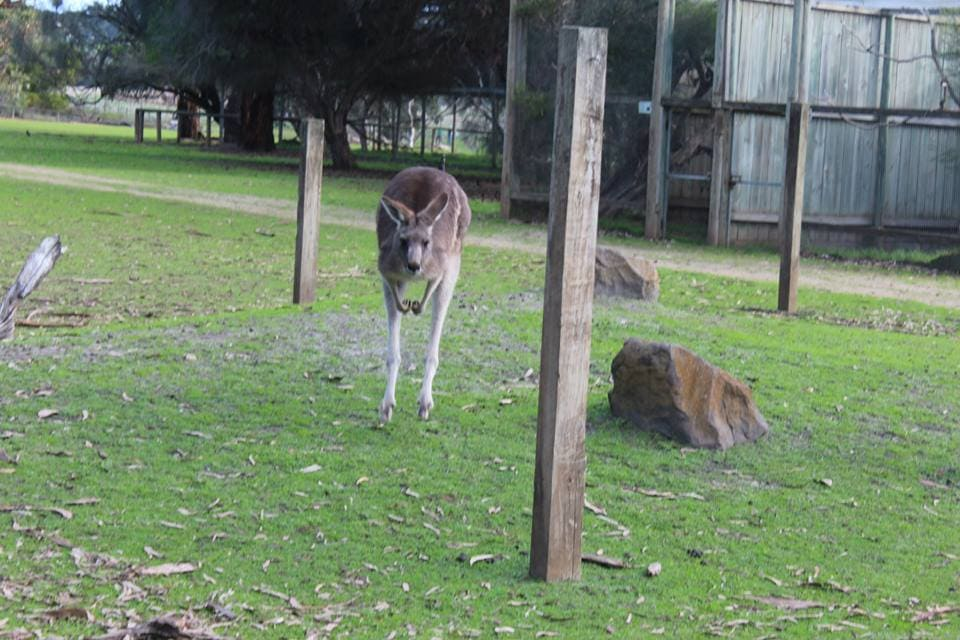 Un kangourou qui saute : Australie